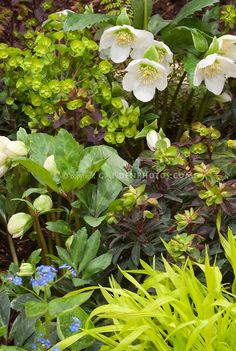 Spring garden scene: Primula, Euphorbia, Hakon grass & white hellebore in beautiful spring planting combination of yellow and white color theme tones