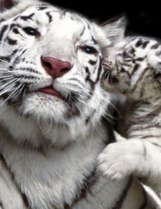 OMG ... what a BEATIFUL TIGER - MOM! Or did she STOLE a LIPSTICK!?!?