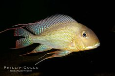 south+american+cichlids+species | Earth-eating cichlid, native to South American rivers., Geophagus ...