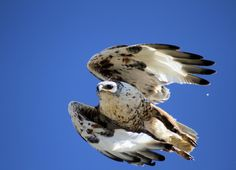 Ferruginous hawk | by Jon David Nelson | (adult light morph)