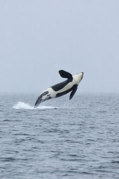 breaching orca | marine animal + wildlife photography