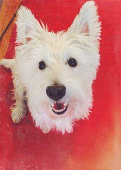 My Rescue Westie rox!