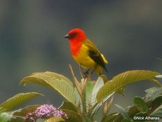 Red-hooded Tanager - Piranga rubriceps - A rare tanager of highland cloud forest in the northern Andes.