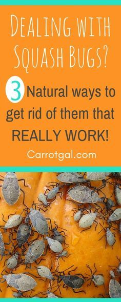 Do you have squash bugs in your garden? Here's what to do about them. Strategies and techniques that really work from carrotgal.com.