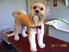 Schnauzer face on Shih Tzu [[Oh! I'm surprised how much I like this! Seen this done on Yorkies, but never a Shih Tzu :3]]