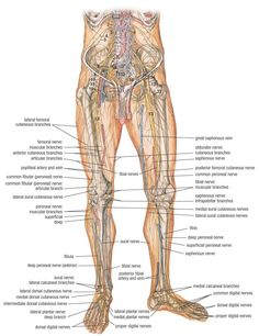 lower leg nerve diagram epiphone les paul jr wiring charlotte mathis hevandog on pinterest human anatomy lateral femoral nerves in cutaneous branches muscular anterior body