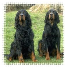 Gordon Setters - These two look like mine, Luke and his son Devon <3