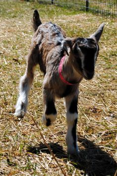 ► Baby goat Yale going for a run! Don't you love his floppy ear? They always stand up once they get older. Check it out: http://gmsoap.co/1qKberP