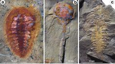 Moroccan deposits from the Ordovician eralook like a sort of Lost World.Species thought to have died out 20 million years earlier in the Cambrian era sit next to others that were not believed to have evolved by the time the deposits were laid down.