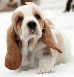 very cute basset hounds images - Yahoo Image Search Results