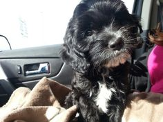 #Cockapoo......The new edition to the family (black and white cockapoo)