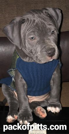 Uplifting So You Want A American Pit Bull Terrier Ideas. Fabulous So You Want A American Pit Bull Terrier Ideas. Rottweiler Training, Rottweiler Puppies, Dog Training, Airline Pet Carrier, Alpha Dog, Bully Dog, Dog Shedding, American Pit, Bull Terrier Dog