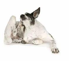 Atopie bei Hunden - Ursachen, Symptome, Diagnose und Therapie Beagle, Tiny World, Mixed Breed, Dog Quotes, Dog Names, Kangaroo, Dog Breeds, Labrador, Animals