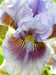 iris filagree by Lois Richter, via Flickr