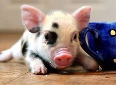 I WANT A PET PIGGY!!