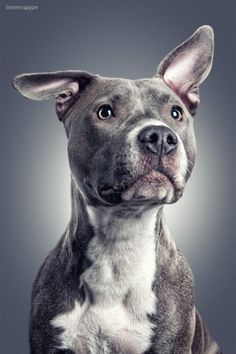 Uplifting So You Want A American Pit Bull Terrier Ideas. Fabulous So You Want A American Pit Bull Terrier Ideas. Beautiful Dogs, Animals Beautiful, Cute Animals, Animals Dog, Cute Puppies, Cute Dogs, Dogs And Puppies, Dogs Pitbull, Blue Pitbull