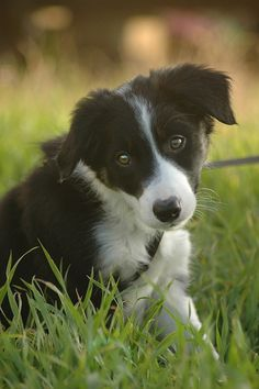 Love Border Collies - I miss our dear departed Kellie@