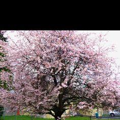 Cherry bosom tree
