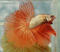 808 Orange gold dragon HM male