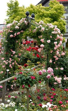 Rose Arch Kiftsgate by Classic Garden Elements with climbing rose Rosilia.  We're already missing spring!