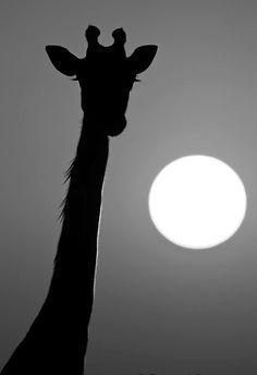 awesome giraffe shadow silouette with setting sun
