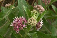 Plants for Rocky Soil Milkweed Maureen Ruddy Burkhart / Alamy
