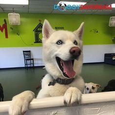 Kobuk the Husky is our dog of the day! #dogoftheday #doggydaydream #doggydaycare #dogs #dogsofinstagram #dogstagram #instadog