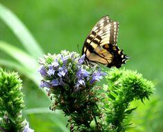 Papillon à Dumbarton Oaks, Washington DC.   Photo de Suzanne FERET