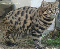 black-footed cat (Felis nigripes) is a small wild cat distributed over South Africa, Namibia, Botswana and Zimbabwe. The habitats of this cat species are arid semi-desert and savannah. Small Wild Cats, Big Cats, Cool Cats, Jaguar, Panther, Black Footed Cat, Cat Magazine, Sand Cat, Spotted Cat