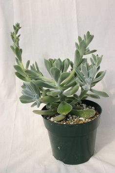 Echeveria leuchotrica - Succulent Gardens