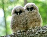 Baby Spotted OWLS...