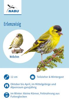 The Siskin - A flock of small greenish birds flies through the air and ends up in an alder or birch tree. The Animals, Baby Animals, Lugano, Wolf Pictures, Animal Pictures, Siskin, Dog Toilet, Olive Green Top, Most Beautiful Animals