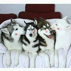 Kissable Huskies.                                                                                                                                                                                  More