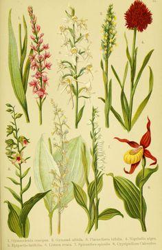 Alpen-Flora für Touristen und Pflanzenfreunde Stuttgart :Verlag für Naturkunde Sprösser & Nägele,1904. biodiversitylibrary.org/page/10384132