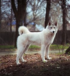 West Siberian Laika #Dogs