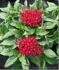 Pentas is loaded with nectar and ever-blooming in Florida making it the ideal butterfly plant for your colorful garden.
