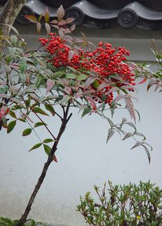 Nara, Four Seasons, Happy New Year, Berries, Japanese, World, Spring, Plants, Beauty