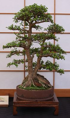 This is listed as a Chinese elm but it's not... It's a port afra...which is a succulent.