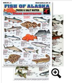 Fish of Alaska ID Chart #16 Saltwater Fishing & Freshwater Fishing chart - Rainbow Trout, Ling Cod, Chinook Salmon, Dolly Vardin, Yellow Eye Rockfish, Steelhead, Black Rockfish, Sheefish, Spiny Dogfish, Starry Flounder, Burbot, Artic Grayling, Pacific Halibut, Northern Pike, Eulachon, Chum Salmon, Pink Salmon, Big Skate, Coho Salmon and more. Only $2.99