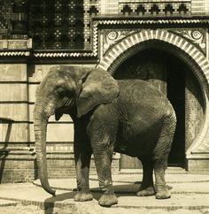 Elephant at the Berlin Zoological Garden.  ca 1900.