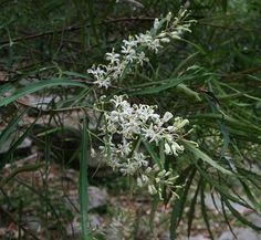 Lomatia myricoides