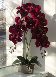 Latest Pics red Orchids Style Should you be new to everything about orchids , avoid being terrified of them. Many orchids might be Red Orchids, Orchids Garden, Orchid Plants, Exotic Plants, Exotic Flowers, Beautiful Flowers, Moth Orchid, Orchid Flowers, Cactus Flower