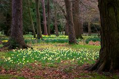 spring in the woods pictures | ... Kersley › Portfolio › A Walk in the Woods - Spring Daffodils