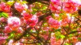 Sheryl Miller is a watercolour artist from Batemans Bay, NSW Australia. See a selection of her artwork in the gallery section. Cherry Blossom Tree, Live Action, Japanese, Video Footage, Stock Video, Painting, Digital Art, Sunset, Japanese Language