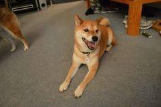 ADOPT Diego: Shiba Inu, Dog; Manassas, VA