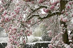 Magnolia Snow Blossom by John Taylor on 500px. This was a unique moment in time when an unusual snow shower fell in the spring in Sussex England covering the spring blossoms in snow.