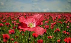 New photos by friends! Poppy, Poppy Flower, Poppy Field - Free Image on Pixabay https://pixabay.com/en/poppy-poppy-flower-poppy-field-2447327/?utm_campaign=crowdfire&utm_content=crowdfire&utm_medium=social&utm_source=pinterest