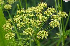 Parsley (Petroselinum crispum)...Festivity