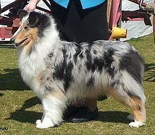 A Rough Collie - which is what my Tolkien is - sometimes known as a Scottish, English or Long-Haired Collie.  This is a picture of a rough collie with a blue merle coloring.     By the way - a Sheltie is NOT a miniature collie.