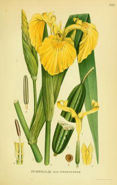 Iris pseudacorus. Billeder af nordens flora v.2 København,G.E.C. Gad's forlag,1917-1927. Biodiversitylibrary. Biodivlibrary. BHL. Biodiversity Heritage Library
